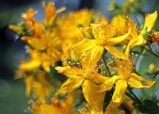 Bright and Beautiful Yellow Flowering Shrubs St John Wort Hypericum Perforatum