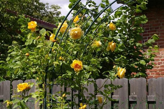Bright and Beautiful Yellow Flowering Shrubs Yellow Roses Rosa