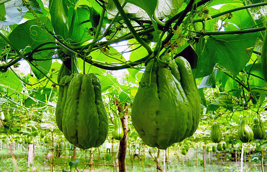Climbing Vegetables Easy to Grow and Harvest Chayote Mirliton Squash