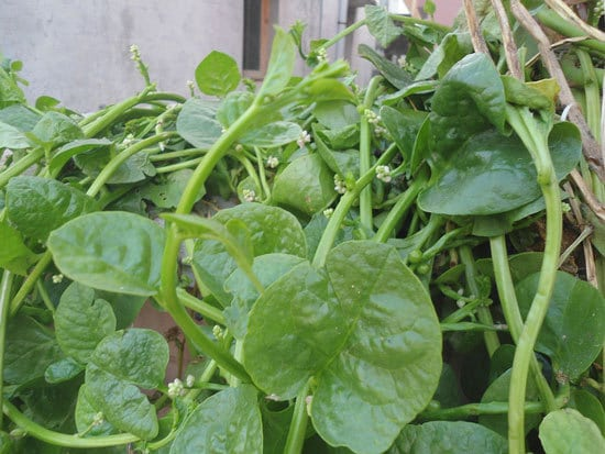 Climbing Vegetables Easy to Grow and Harvest Malabar Spinach Basella Alba