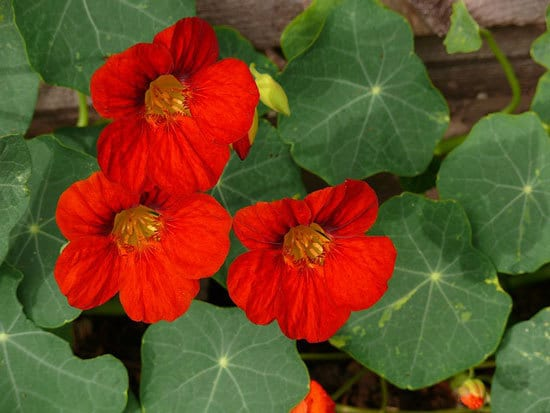 Climbing Vegetables Easy to Grow and Harvest Nasturtium