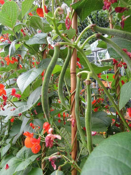 Climbing Vegetables Easy to Grow and Harvest Runner Beans