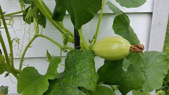 Climbing Vegetables Easy to Grow and Harvest Squash