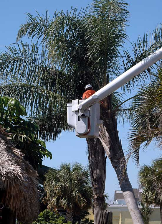 How to Kill A Palm Tree Cut the Palm Tree