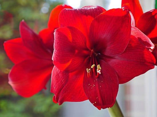 Most Beautiful Red Perennials Amaryllis