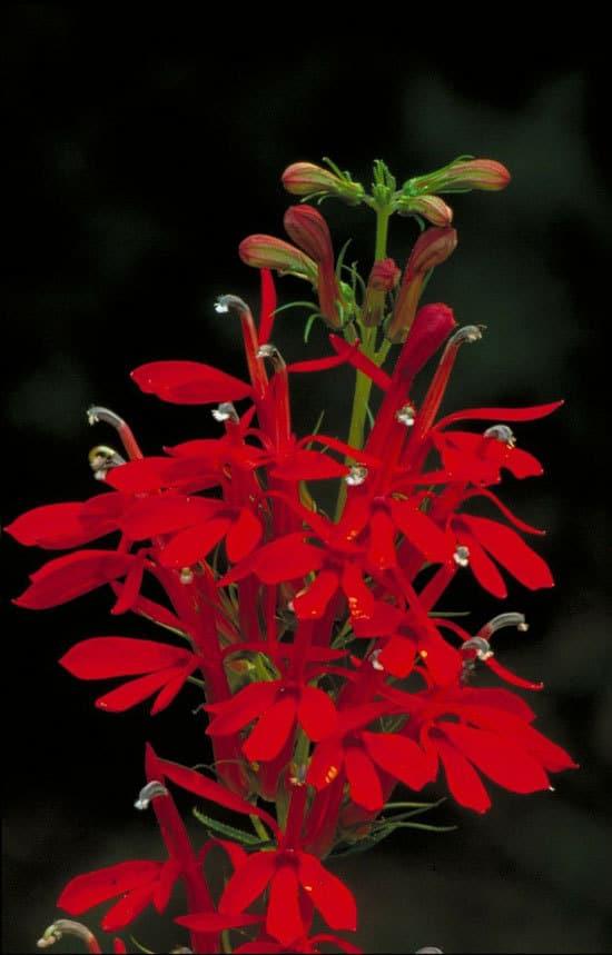 Most Beautiful Red Perennials Cardinal Flower