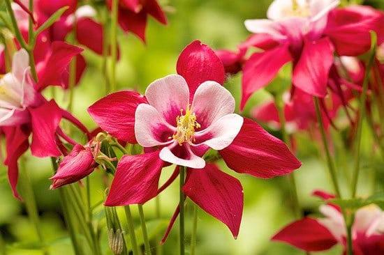 Most Beautiful Red Perennials Columbine