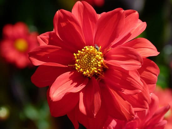 Most Beautiful Red Perennials Dahlia