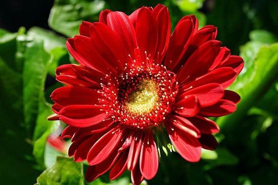 Most Beautiful Red Perennials Gerbera Daisy