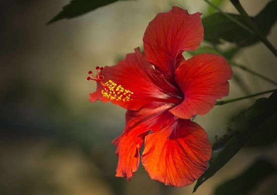Most Beautiful Red Perennials Hibiscus