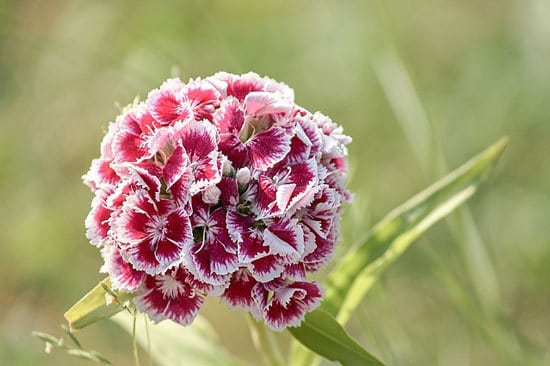 Most Beautiful Red Perennials Red Dianthus Sweet William