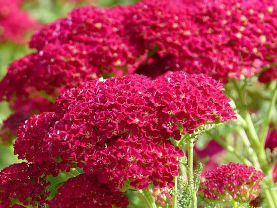 Most Beautiful Red Perennials Yarrow