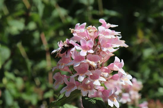 Purple Flowering Shrubs Abelia