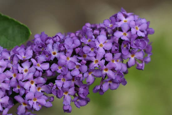 Purple Flowering Shrubs Buddleia Davidii Butterfly Bush