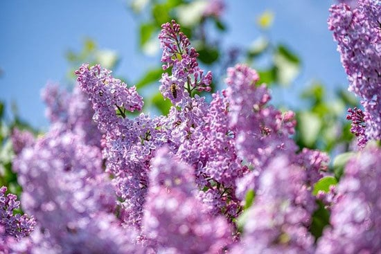 Purple Flowering Shrubs Lilacs