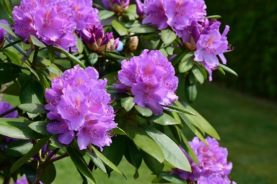 Purple Flowering Shrubs Rhododendron