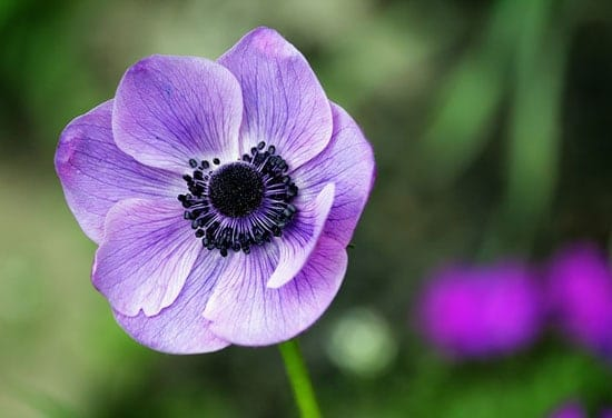Purple Perennials Anemone