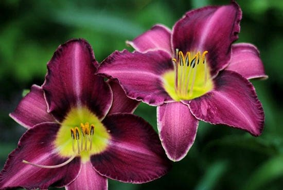 Purple Perennials Daylily