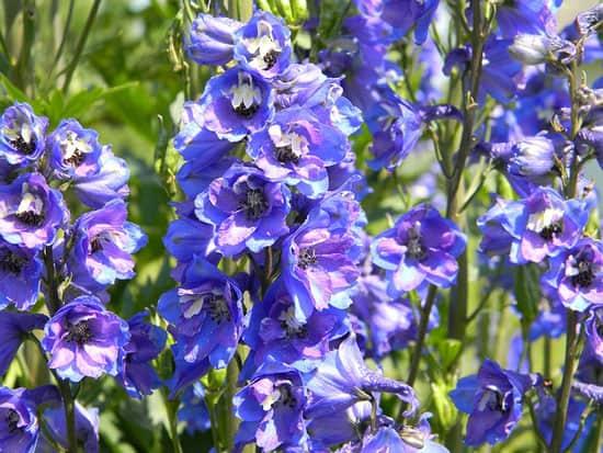 Purple Perennials Delphinium