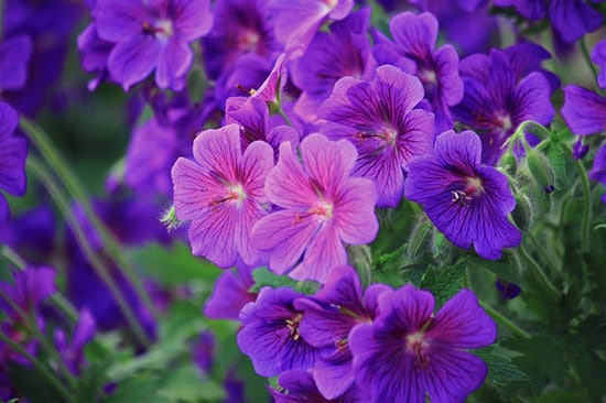 Purple Perennials Geranium