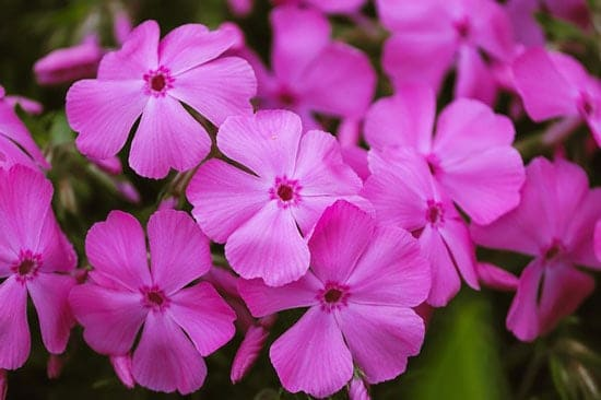 Purple Perennials Phlox