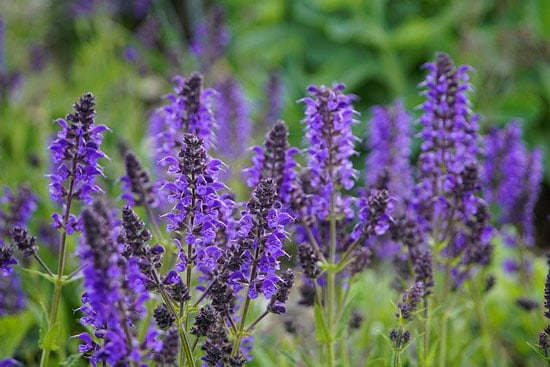 Purple Perennials Salvia Sage