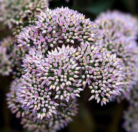 Purple Perennials Sedum