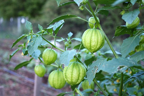 Tomatillos Tree