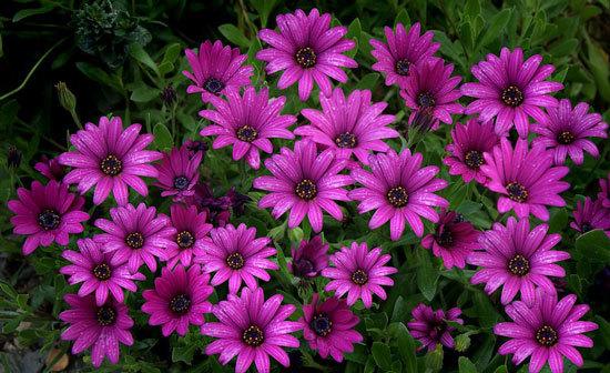 Vibrant Trailing Annual Flowers African Daisy Osteospermum