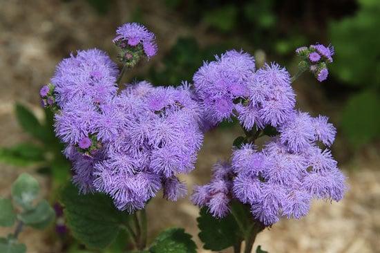 Vibrant Trailing Annual Flowers Ageratum