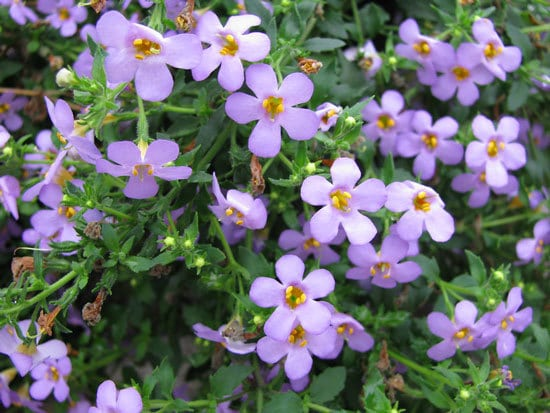 Vibrant Trailing Annual Flowers Bacopa
