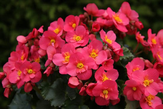 Vibrant Trailing Annual Flowers Begonia