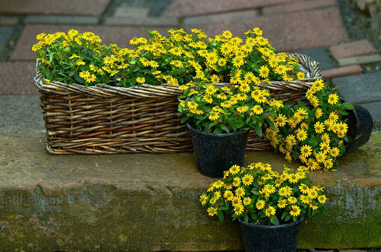 Vibrant Trailing Annual Flowers Creeping Zinnia