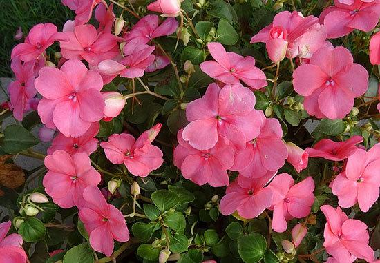 Vibrant Trailing Annual Flowers Impatiens
