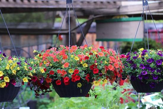 Vibrant Trailing Annual Flowers Million Bells