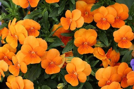 Vibrant Trailing Annual Flowers Nasturtiums