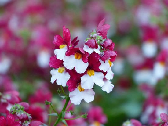 Vibrant Trailing Annual Flowers Nemesia