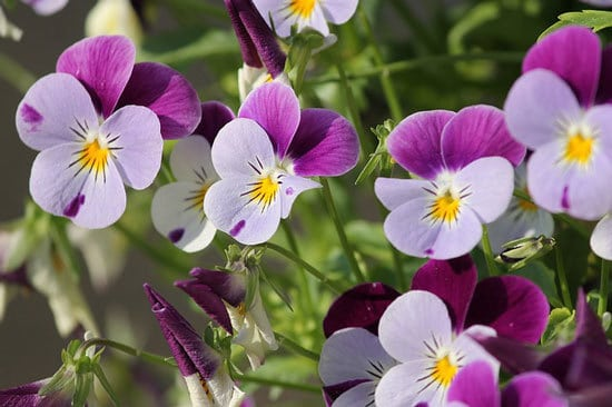 Vibrant Trailing Annual Flowers Pansy