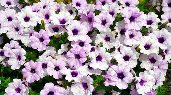 Vibrant Trailing Annual Flowers Petunia