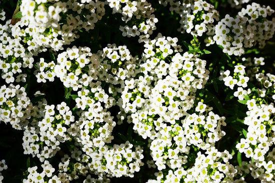 Vibrant Trailing Annual Flowers Sweet Alyssum