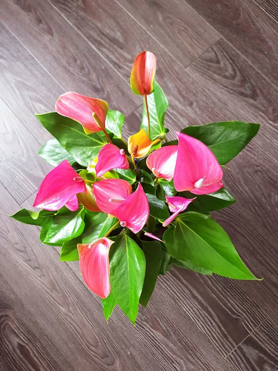 Anthurium Cutest Small Indoor Plants