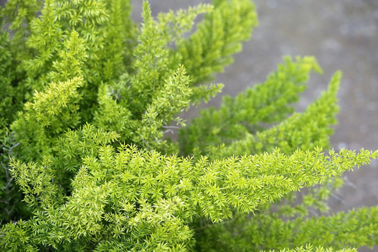 Asparagus Fern Cutest Small Indoor Plants