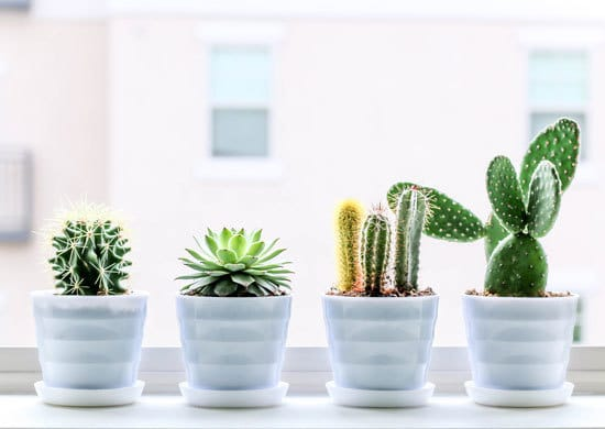 Cacti Cutest Small Indoor Plants