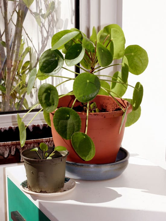 Chinese Money Plant Pilea Plant Cutest Small Indoor Plants