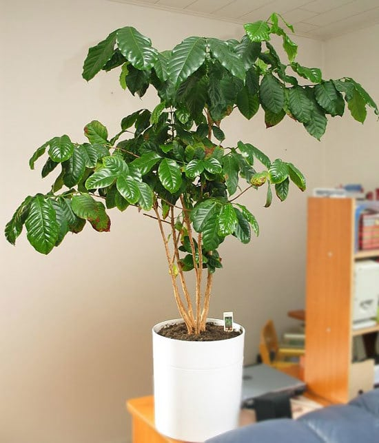 Coffee Plant Plant Cutest Small Indoor Plants