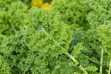 Fast Growing Salad Vegetables Kale