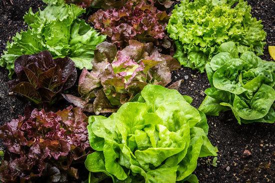 Fast Growing Salad Vegetables Lettuce