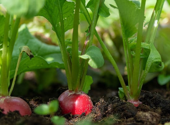 Fast Growing Salad Vegetables Radishes