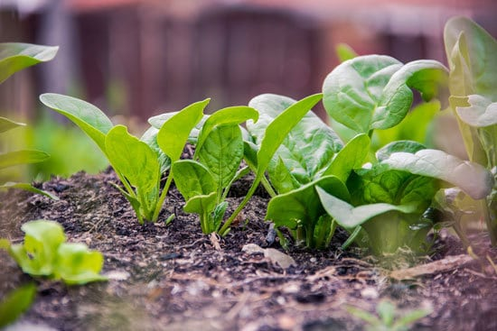 Fast Growing Salad Vegetables Spinach