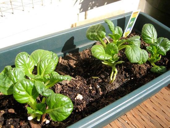 Fast Growing Salad Vegetables Tatsoi